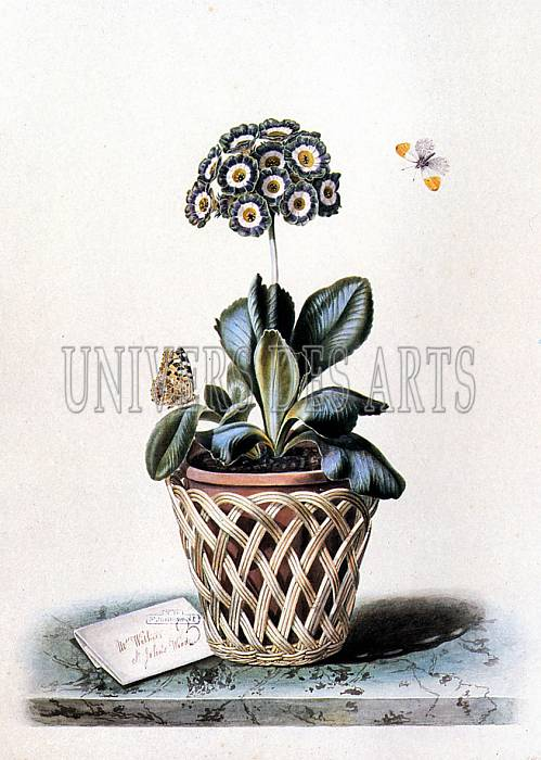 withers_augusta_innes_an_auricula_in_a_pot_in_a_basket_cachepot_with_painted_lady_and_orange_tip_butterflies.jpg